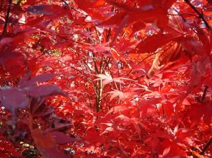 red-leaves.jpg
